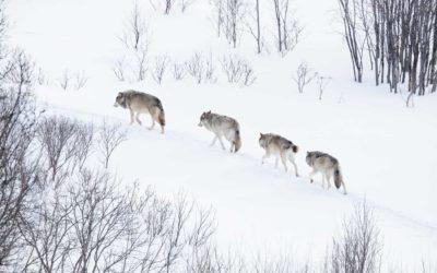 Lobos en San Pelegrín